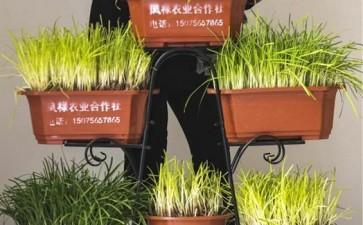冬季韭菜无土盆景栽培怎么基质配制
