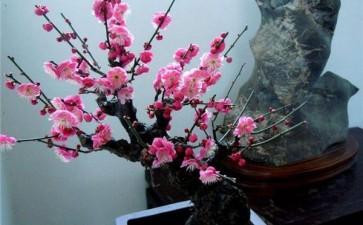 梅花盆景怎么制作造型的3个方法
