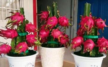 温室盆栽火龙果的开花结果习性