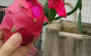 温室盆栽火龙果的3个技术特点