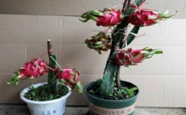 火龙果盆栽怎么中盆栽培的2个方法