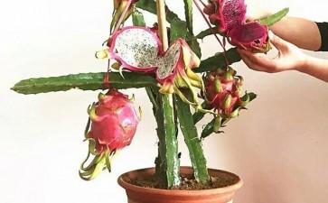 火龙果盆栽怎么单主干形的2个方法