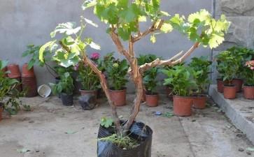 家庭阳台盆栽葡萄怎么品种选择的4个方法