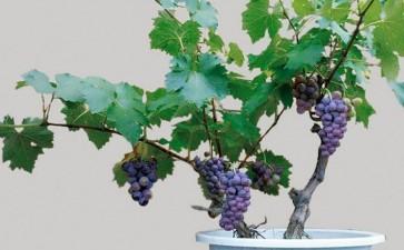盆栽葡萄怎么容器选择的3个方法