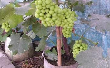 盆栽葡萄怎么浇水施肥的3个方法