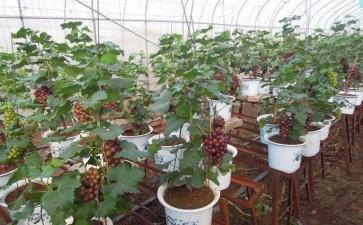 盆栽葡萄2~3年后怎么换盆的方法
