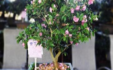 山茶花盆栽怎么换盆摘叶的3个方法