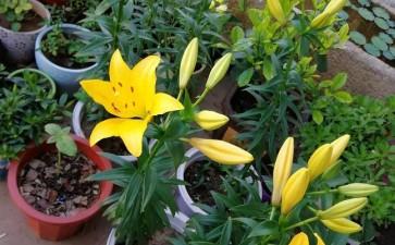 宁夏引种东方系百合盆栽品种的综合评价