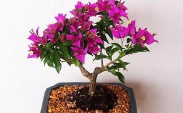 盆栽三角梅水肥一体化及花期调控技术研究