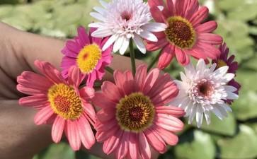 盆栽小菊的5个现代育种目标