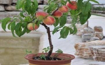 水蜜桃盆栽怎么盆土配制和装盆栽苗