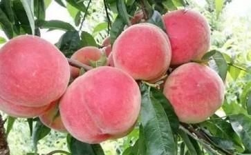 水蜜桃盆栽生长期怎么修剪的7个方法