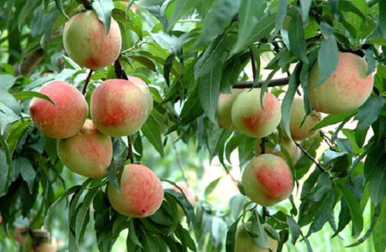 水蜜桃盆栽休眠期怎么修剪
