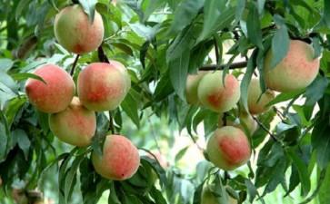水蜜桃盆栽休眠期怎么修剪的6个方法