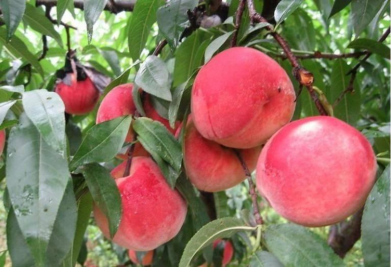 水蜜桃盆栽怎么整形修剪