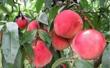 水蜜桃盆栽怎么整形修剪的5个方法