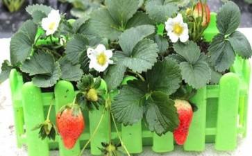 草莓盆栽怎么光照换盆的3个方法