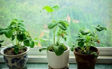 盆栽草莓病虫害怎么防治的方法