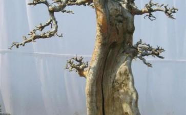 夏季树木盆景怎么剪枝的方法