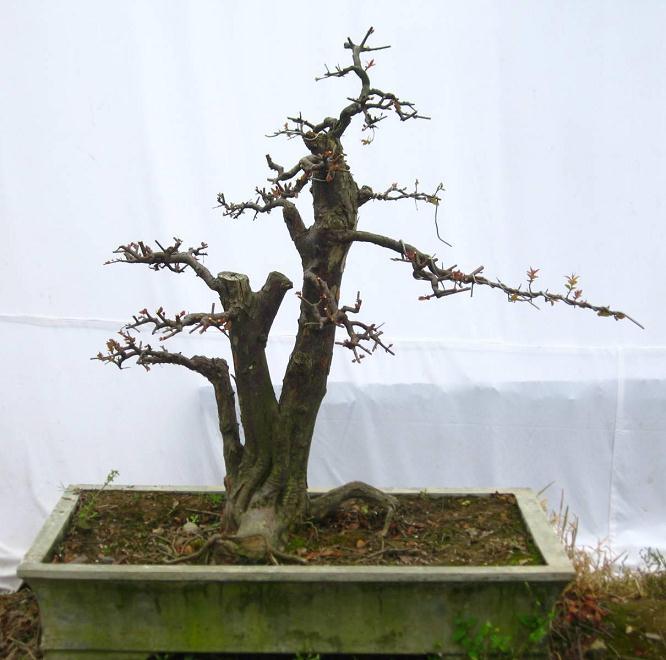 树木盆景夏季怎么形体修剪