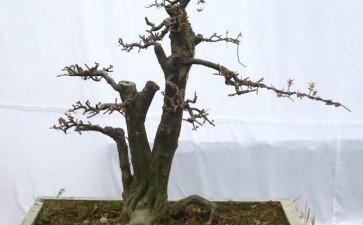树木盆景夏季怎么形体修剪的3个方法