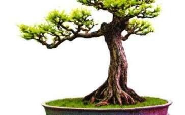 水松盆景的形态特征和生长习性有哪些