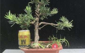 樟子松盆景怎么上盆造型的4个方法