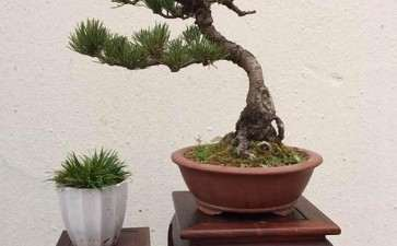 樟子松盆景怎么浇水施肥的3个方法