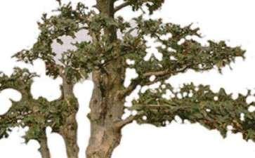 盆景树胚怎样生根栽值的方法