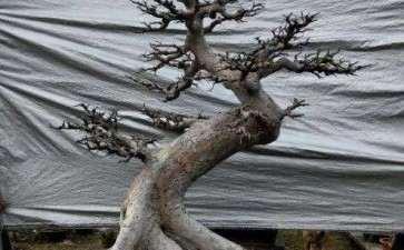 榆树盆景怎么截干处理的方法 图片
