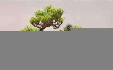 松柏类盆景该怎么截干蓄枝的方法