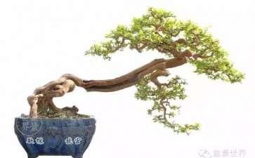 盆景跌枝上托枝怎么制作的方法