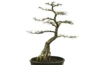 树桩盆景怎么用盆 各有什么优缺点