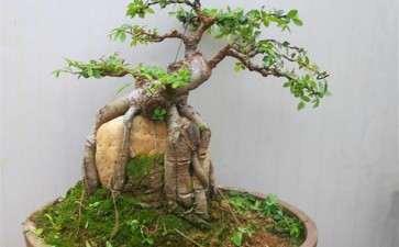榆树树桩盆景怎么选枝造型的3个过程