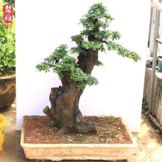 榆树盆景怎么浇水施肥