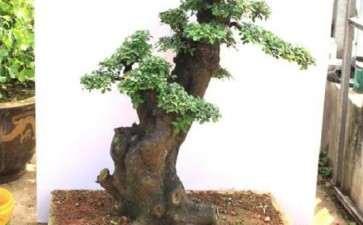 榆树盆景怎么浇水施肥的3个方法