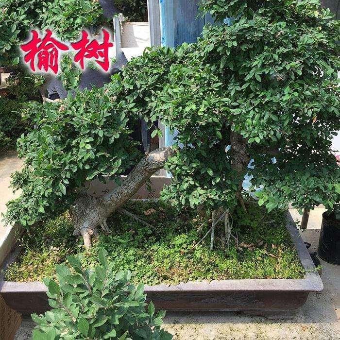 榆树盆景怎么上盆修剪的