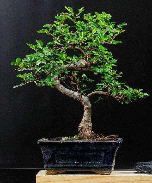 榆树盆景怎么病虫害防治