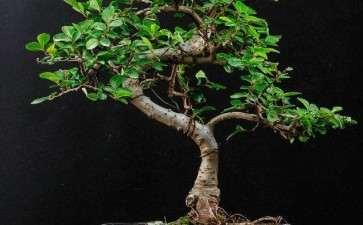 榆树盆景怎么病虫害防治的3个方法
