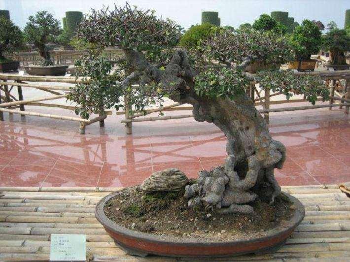 榆树盆景怎么修剪造型