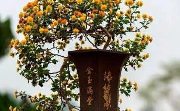 青蒿菊花盆景怎么嫁接栽培的3个方法