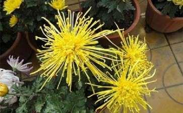 青蒿菊花盆景怎么浇水施肥的3个方法