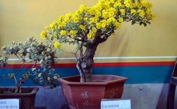 菊花盆景怎么病虫害防治的3个方法
