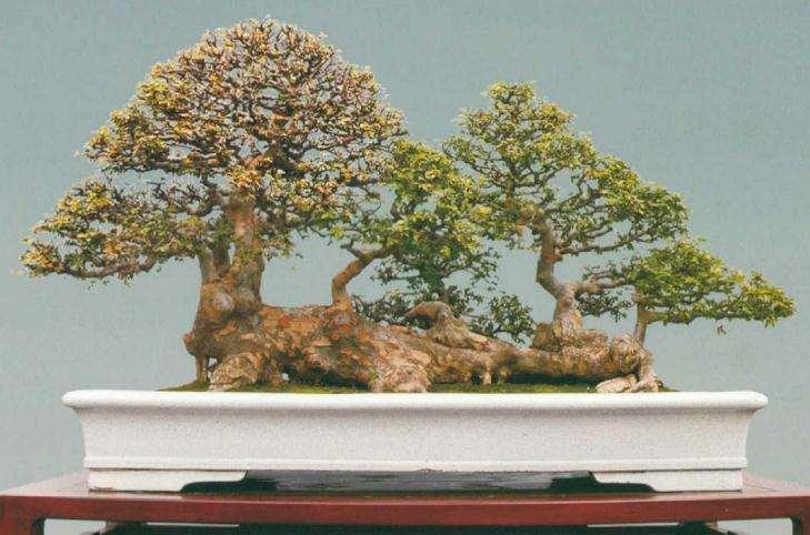榆树盆景欣赏