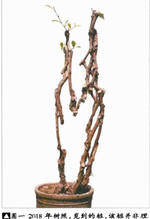 韩学年制作附壁榕树盆景的过程