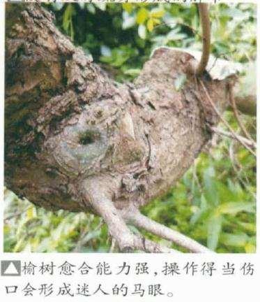 榆树盆景桩材怎么选择和初步处理