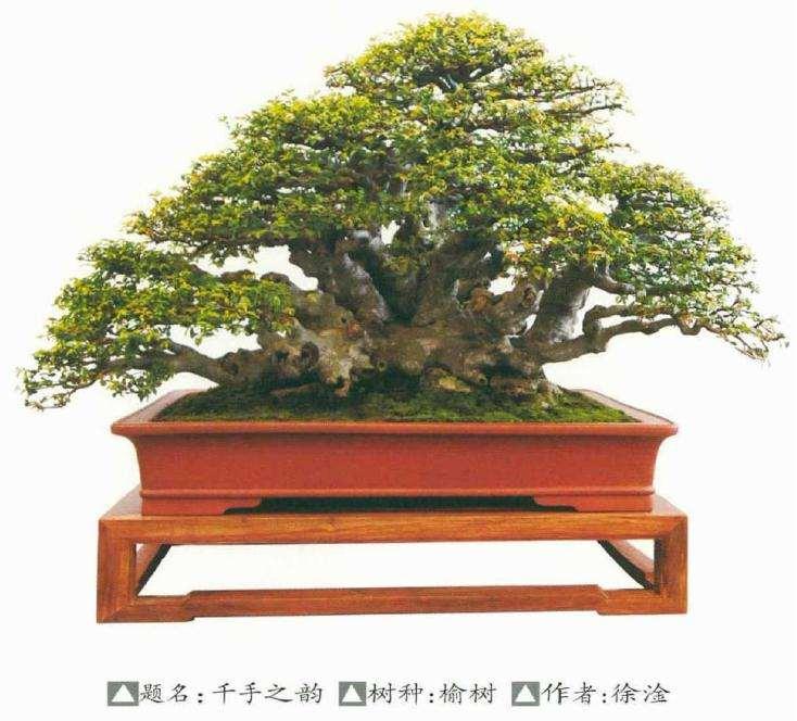 榆树盆景桩材怎么栽种管理