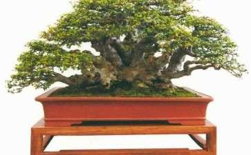 榆树盆景桩材怎么栽种管理的3个方法