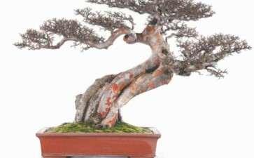 榆树盆景成型后怎么翻盆换土的方法