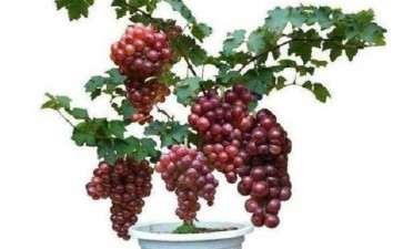 切根处理对盆栽葡萄更新复壮的影响